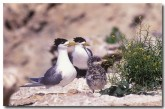 crested-tern-sv-209-copy