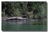 crocodile-ad-673-copy
