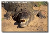 crocodile-pm-362-copy