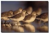 curlew-sanpiper-cad-031-copy