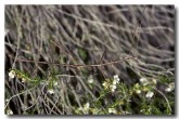 denhama-eutrachelia-stick-insect-ys-335-karroun-hill-nr