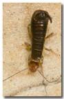 dermaptera-anisolabididae-earwig-2-llj-074-web-copy