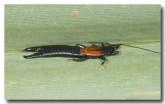 dermaptera-earwig-mt-hart-llg-696-web-copy