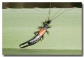dermaptera-earwig-mt-hart-llg-699-web-copy