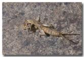 dermaptera-earwig-paluma-llg-701-web-copy