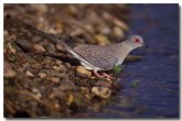 diamond-dove-ld-232-copy