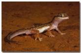 diplodactylus-damaeum-lo-548-copy