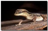 diplodactylus-granariensis-lo-582-copy