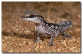 diplodactylus-ornatus-rf-436-copy