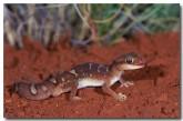 diplodactylus-pulcher-fx-971-copy