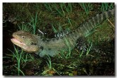 eastern-water-dragon-am-554-copy