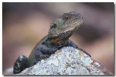 eastern-water-dragon-xn-785-copy