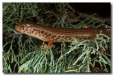 egernia-striata-xf-077-copy
