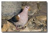 emerald-dove-llf-215web-copy