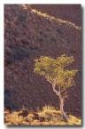 euc-setosa-desert-gum-tree-rr-112-copy