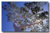 euc-setosa-desert-gum-tree-sa-497-copy