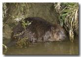 eurasian-beaver-lld-802
