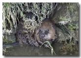 eurasian-beaver-lld-803