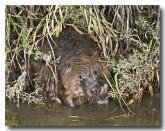 eurasian-beaver-lld-804b