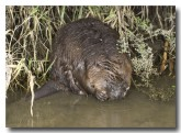 eurasian-beaver-lld-806