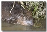 eurasian-beaver-lld-808