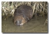 eurasian-beaver-lld-809