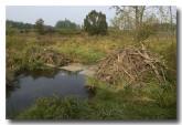 eurasian-beaver-lld-824