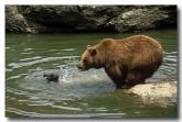 european-brown-bear-xd-838-copy