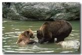 european-brown-bear-xk-772-copy