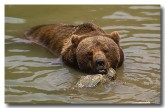 european-brown-bear-xk-791-copy