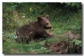 european-brown-bear-xk-807-copy
