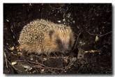 european-hedgehog-xa-297-copy