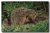 european-hedgehog-xa-314-copy
