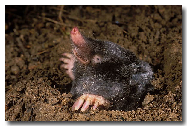 Common European Mole