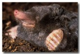 european-mole-xg-557-copy