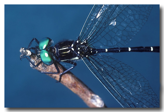 Black Tigertail – Dragonfly