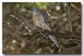 fan-tailed-cuckoo-llh-613-web-copy