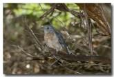 fan-tailed-cuckoo-llh-614-web-copy