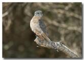 fan-tailed-cuckoo-llh-615-web-copy