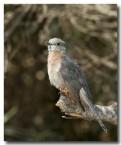 fan-tailed-cuckoo-llh-616-web-copy