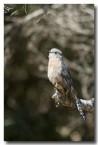 fan-tailed-cuckoo-llh-617-web-copy