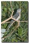 fan-tailed-cuckoo-llh-618-web-copy