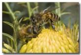 feral-bee-llf-917-web-copy