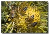 feral-bee-llf-918-web-copy