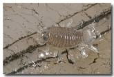 fish-lice-male-llj-656-web-copy