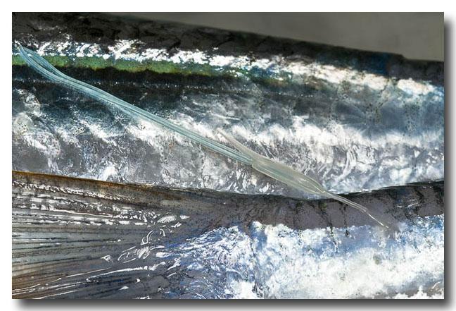 Copepod – Fish Parasite
