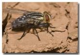 flesh-fly-kalbarri-3-aad-236-copy