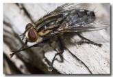 flesh-fly-lake-logue-aad-238-copy