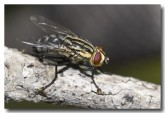 flesh-fly-lesueur-lle-708-copy