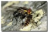 flesh-fly-lf-665-copy